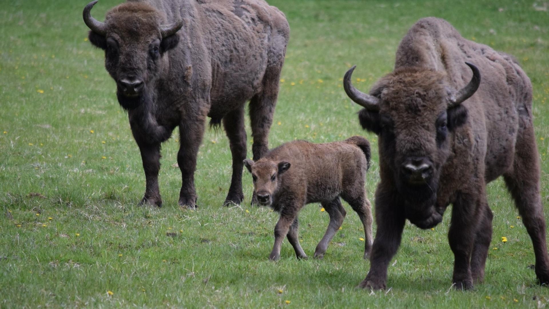 Pašiliai bison paddock